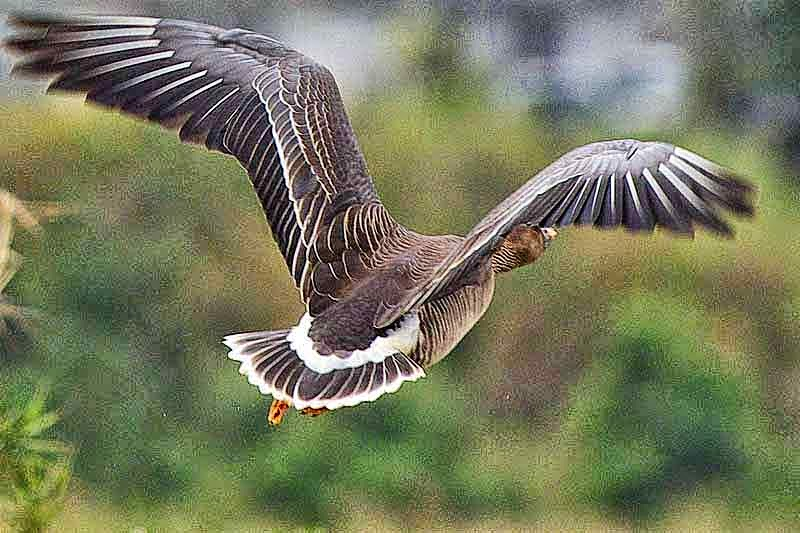 Wings spread, tail feathers, Bean Goose