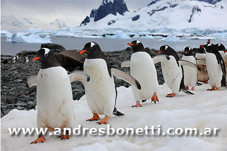 Pingüino Papua - Gentoo Penguin - Antartida - Antarctica - Andrés Bonetti