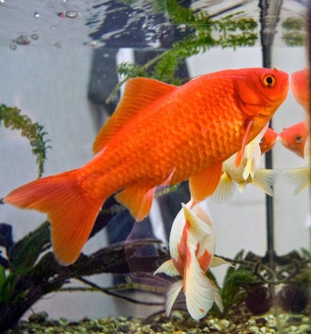 Freshwater Frenzy: Which Freshwater Aquarium Fish Live Longest?