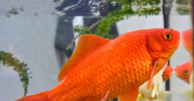 Freshwater frenzy which freshwater aquarium fish live for What fish can live with goldfish