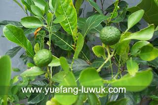 pohon lemon cui