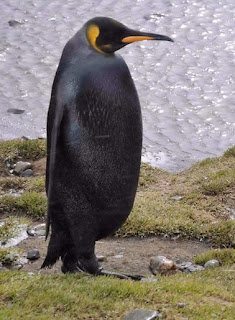 Melanismo: Pinguino emperador negro