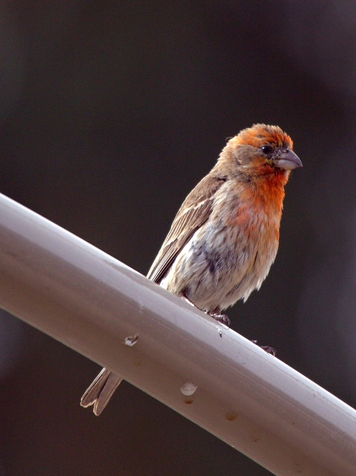 wild wanderlust backyard birding finches