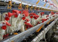 ONU reafirma que indústria de produção animal contribui diretamente ao aquecimento global
