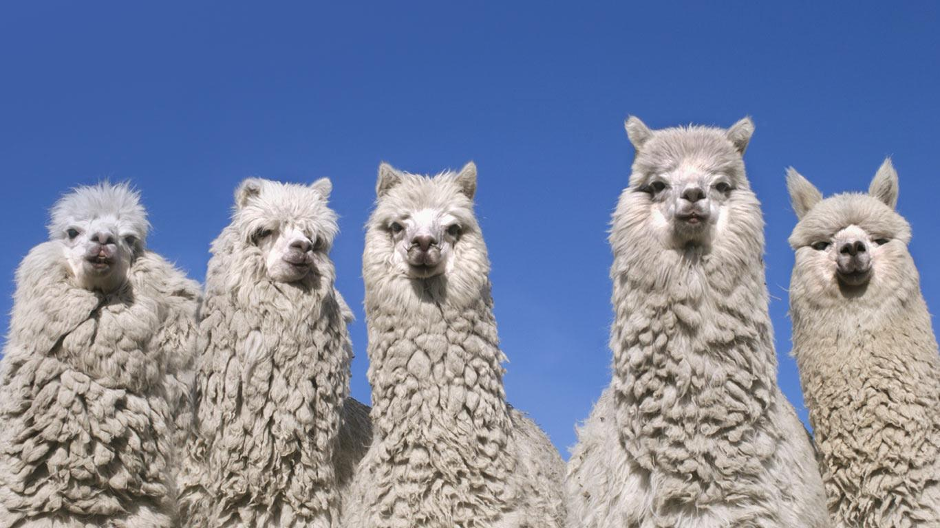 1366 x 768 jpeg 136kb download image bing alpaca pc android iphone