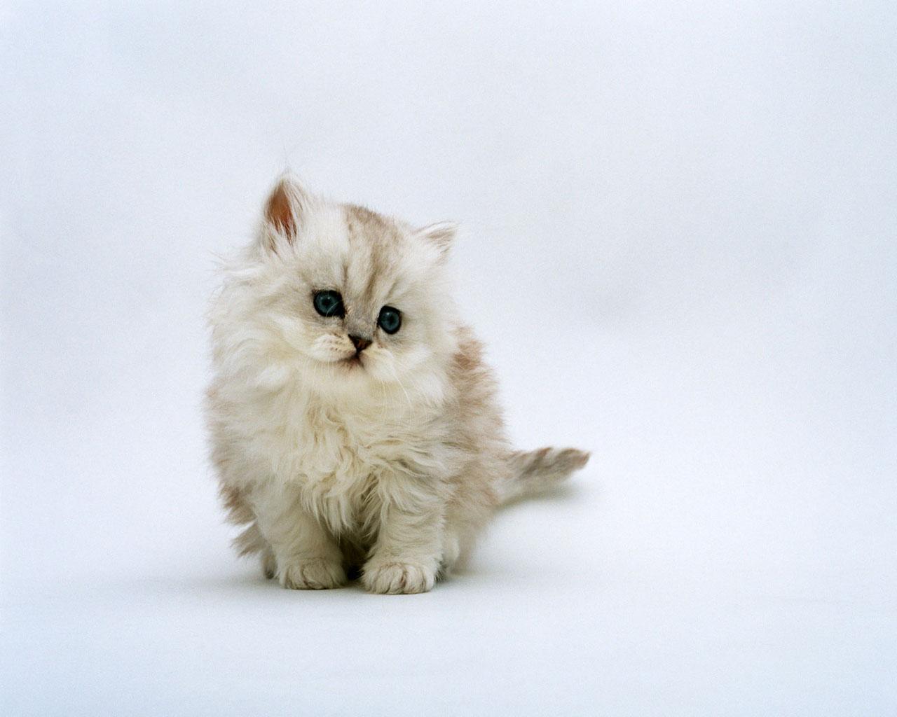 Wallpaper Kucing Si Budi