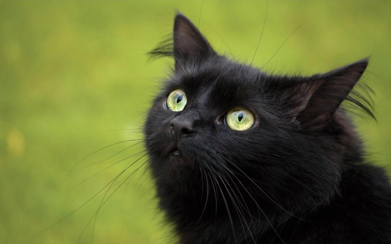 http://1.bp.blogspot.com/-z_RGxFcT2FU/UMfnAEDO8eI/AAAAAAAAAVA/d2hVm9T_JXM/s1600/Black-Cat-Wallpaper-HD.jpg