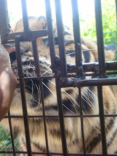hungry tiger in zoobic safari