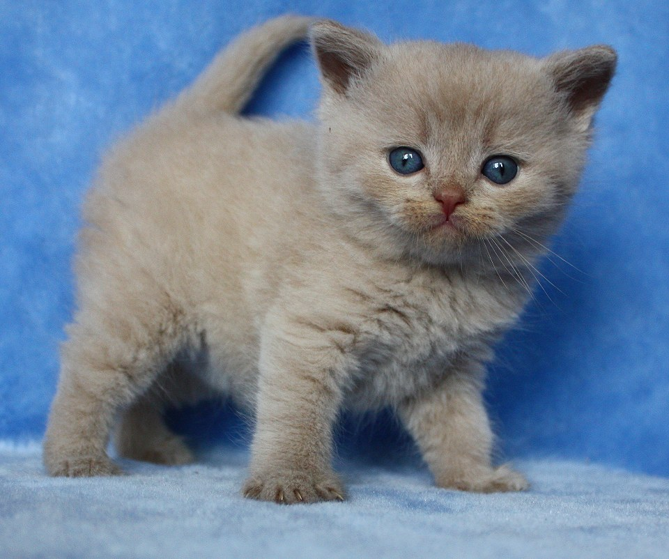 Britisch Kurzhaar (BKH) Kitten und Britisch Langhaar