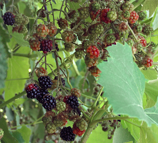 Blackberries Growing on a Fence