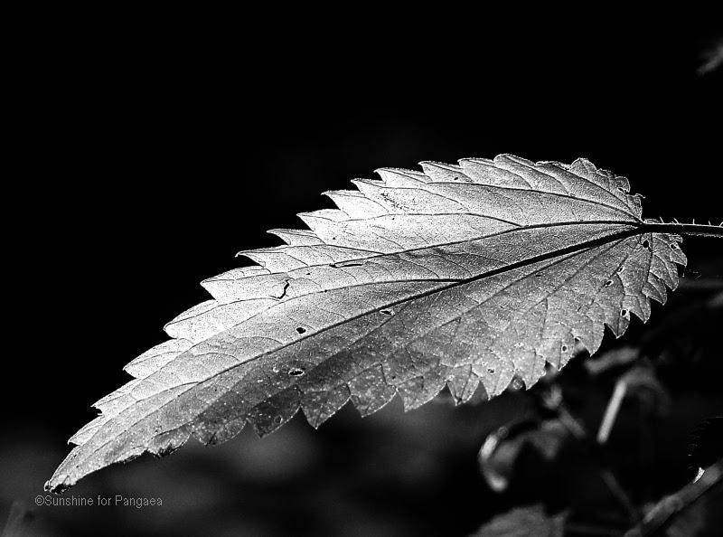 Brenneselblatt in schwarzweiss