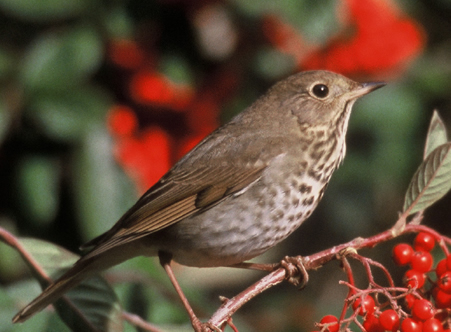 ... bird, British thrush bird, Baby thrush bird,Male thrush bird,,thrush  Bird