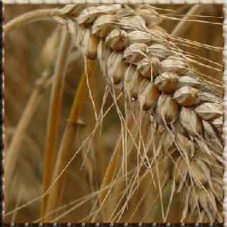çavdar ekmeği    çavdar tarlasında    çavdar tarlasında çocuklar    çavdar tarlasında çoçuklar    çavdar köyü    çavdar ekmeği kalori     çavdar