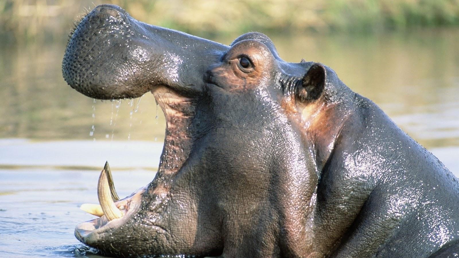 Wildlife Of The World Hippopotamus Animal