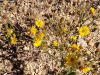 Wildflowers on Glendora Mountain ridge, Angeles National Forest