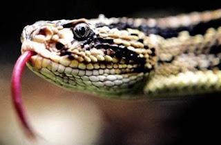 Serpiente de perfil sacando la lengua