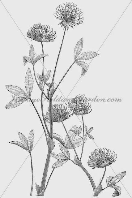 http://1.bp.blogspot.com/-zbbKHN90vF0/U9kMOl7S5SI/AAAAAAAAJPg/yqIcb4isdvQ/s640/1886+Trifolium+Involucratum+(Preview).jpg