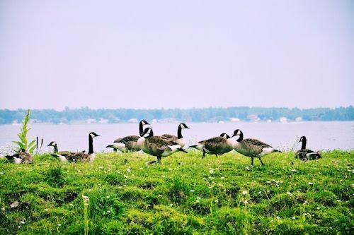 Patos en Upper Canada Village provincia de Ontario