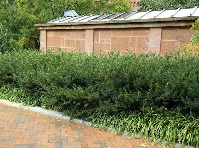 Future Plants By Randy Stewart Cephalotaxus Plum Yew