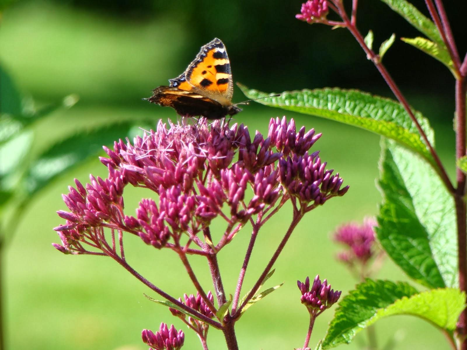 Skapa rum för fjärilar