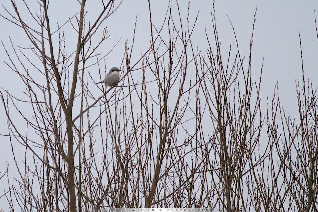 Klapekster - Northern Shrike - Lanius exubitor