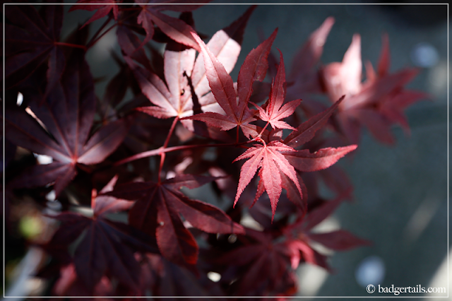 Burgundy Japanese Maple (Acer) Leaves