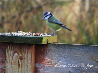 blue tit, garden bird, caithness birds