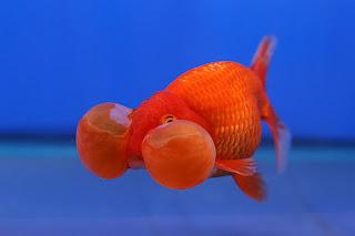 golden-fish-bubble-eye