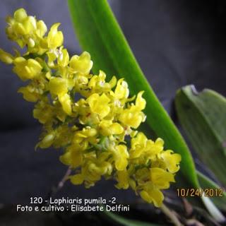 Lophiaris pumila do blogdabeteorquideas