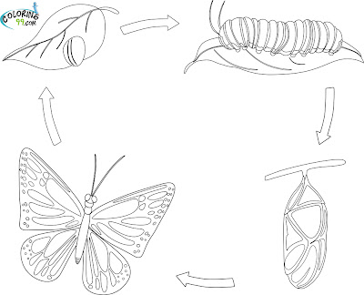 Butterfly Life Cycle Coloring