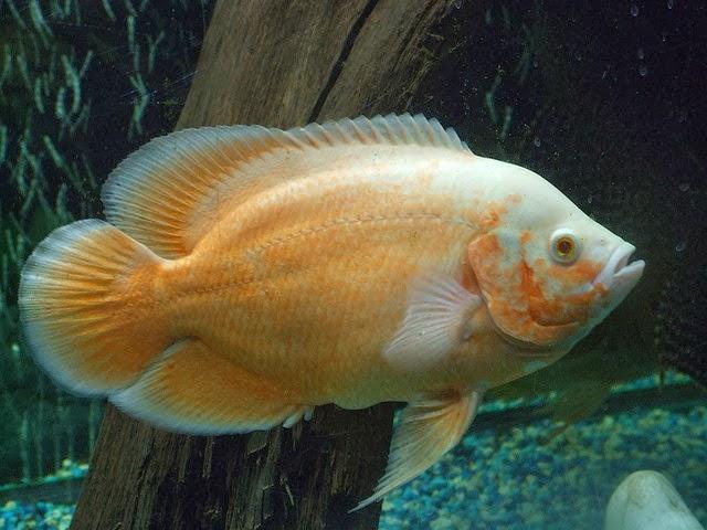 Oscar (fish)