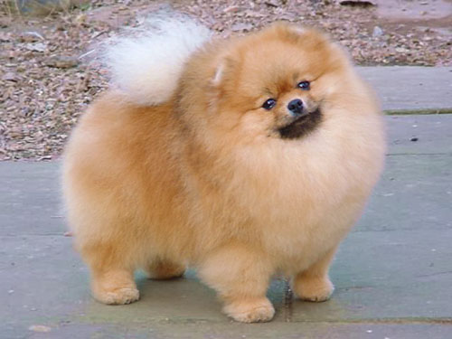 Pomeranian Puppies Breed Wallpaper Download