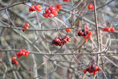 Juicy red berries on a grey day