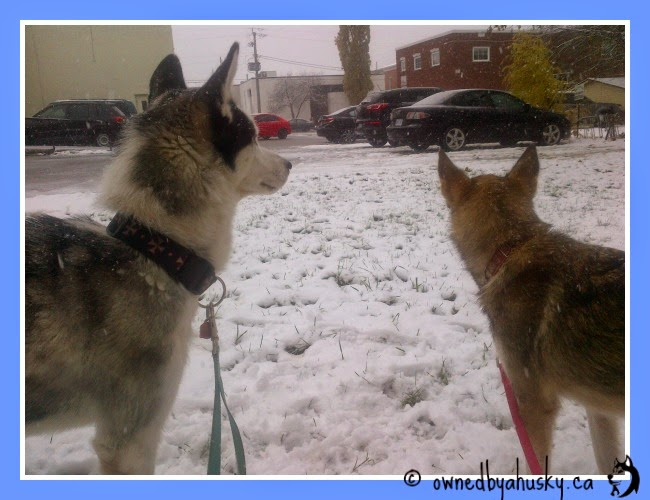 Siberian Huskies first snow