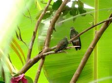 Colibrís de Jamaica