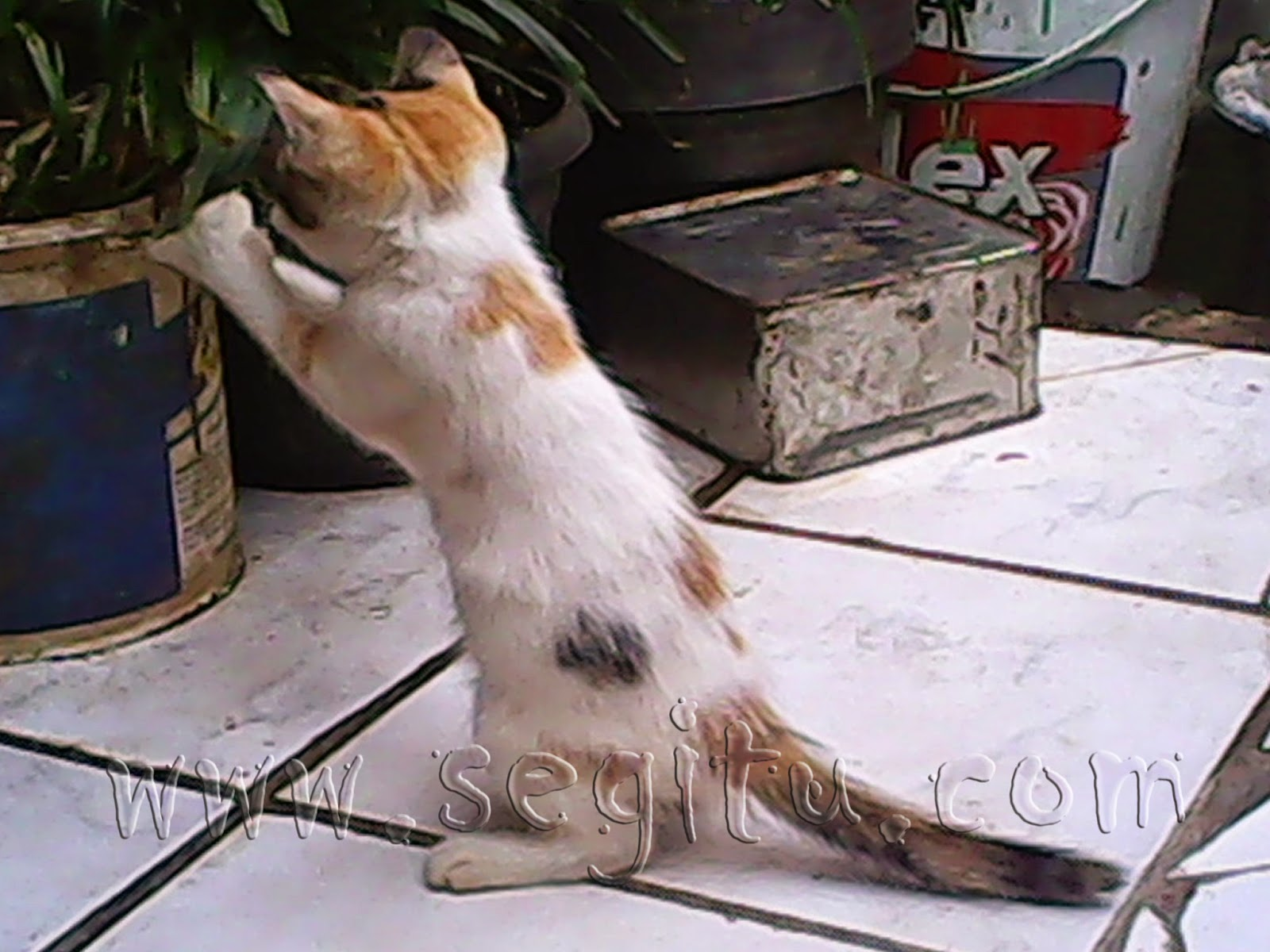 Raja Kucing 3 Warna Kucing Persia