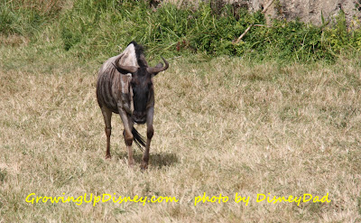 Growing Up Disney AK Wildebeest