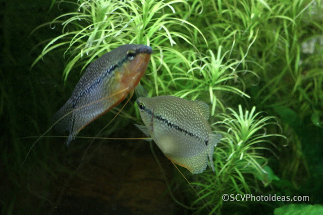 Pearl Gourami (Trichogaster leerii) couple communicating