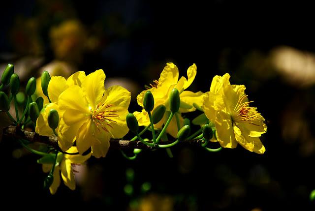 Ảnh đẹp mai vàng ngày tết nguyên đán - Hình 12