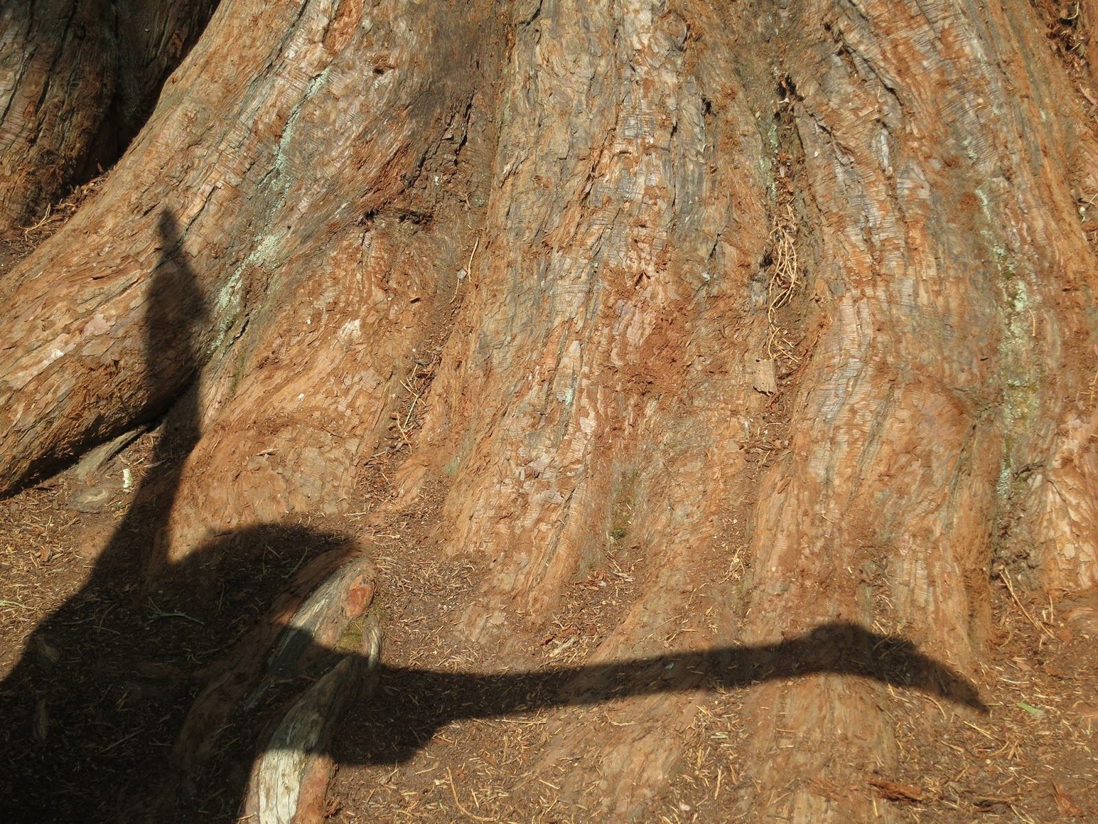 Shadow of open arms on flare of redwood tree