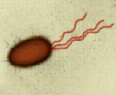 Sperm flagella movement