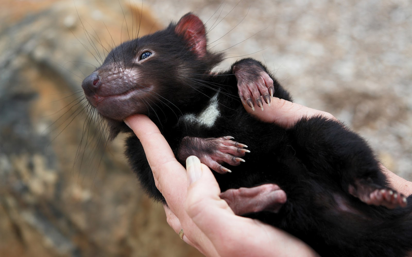 tasmanian devils Tasmania is a natural haven for australian wildlife with many animals and plants found no where else on earth wishlist  tasmanian platypus.