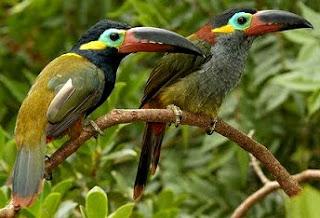 Existen una variedad considerable de especies de Tucanes