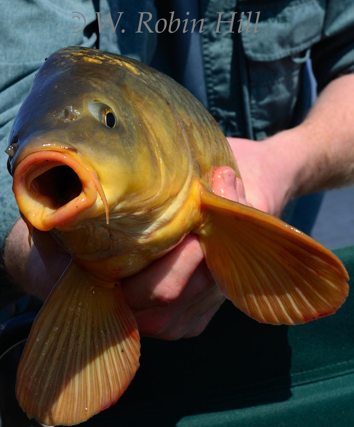 Brookside hillbilly carp carp carp carp for Blind robin fish