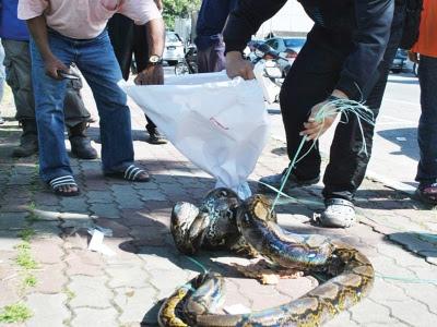 Ular Sawa 40 Kilogram di Bandar Raya Kuala Terengganu