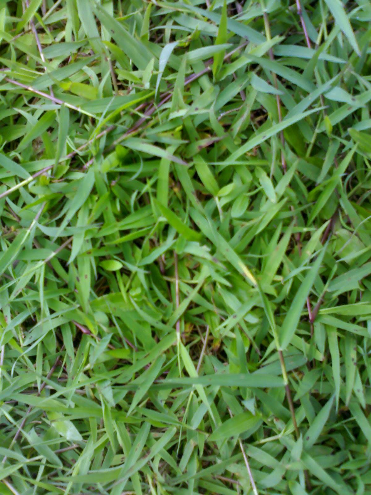 jual Rumput Gajah mini, Rumput Jepang (Rumput peking), Rumput Golf, Rumput Bermuda, rumput gajah biasa