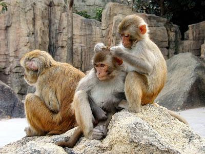Rhesus-Macaques (source: nal.usda.gov)