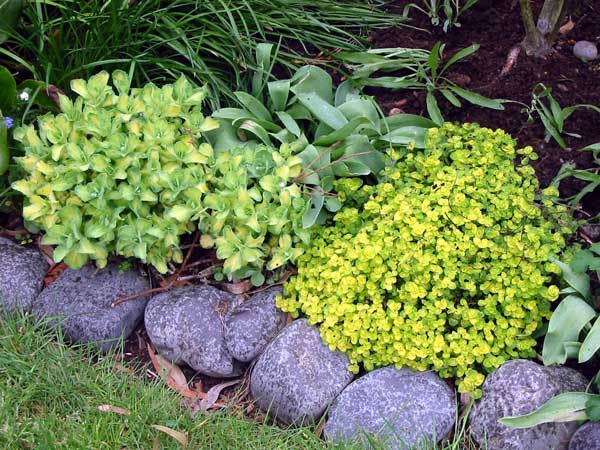 Landscaping Edging Plants : Ground cover or edging plants for the edible garden landscape