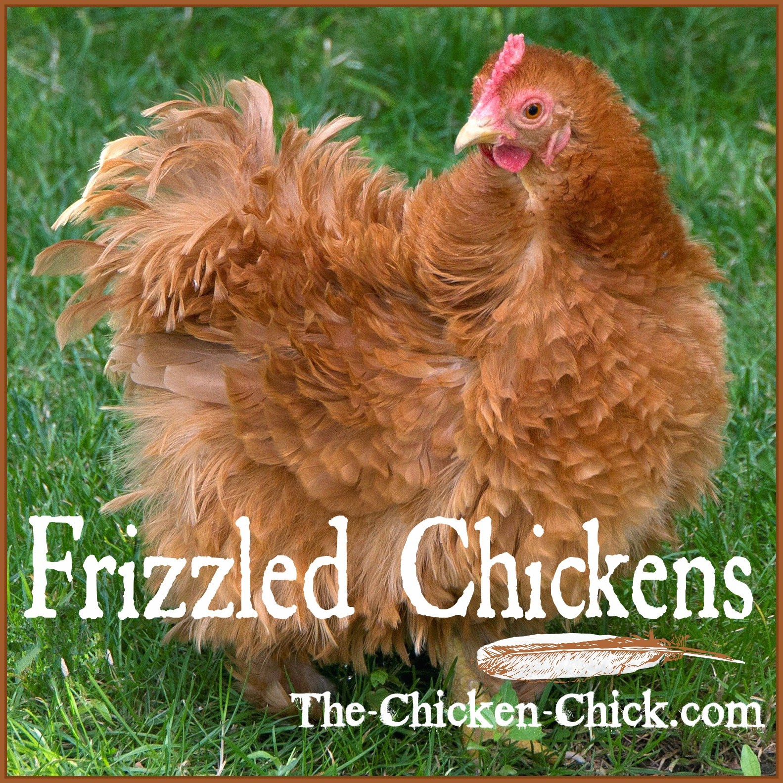 """Frizzle"" refers to a genetic trait that causes a chicken's feathers to grow out and curl away from the body instead of growing flat and smooth, following the body contour. Frizzle is not a breed, it is a genetically programmed feather type."