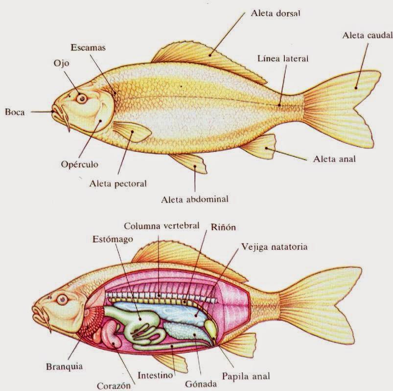 M todo de la ciencia 2014 fisiolog a de un pez for Reproduccion en peces